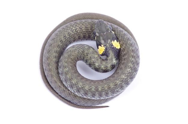 흰색 배경에 고립 된 뱀