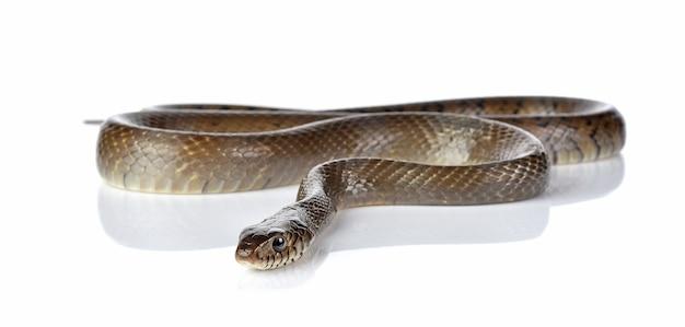 뱀 흰색 절연