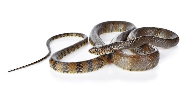 Snake isolated on white background