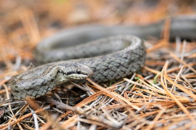 乾燥した地面にヘビします。