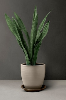 Snake plant in a beige pot by a wall