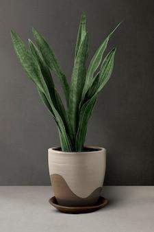 벽 옆 베이지색 냄비에 있는 뱀 식물