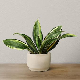 베이지색 냄비에 뱀 식물