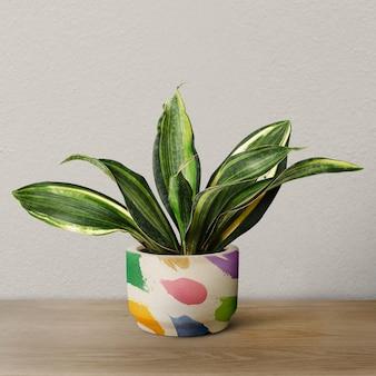 Змеиное растение в красочном горшке