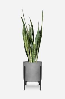 냄비에 뱀 식물