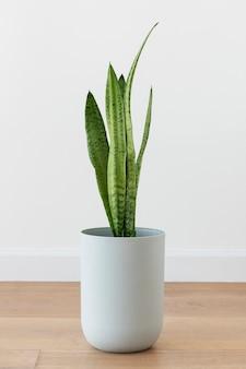 Змеиное растение в белом горшке