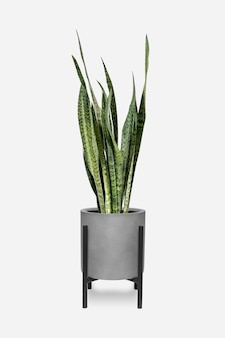 Snake plant in a pot Free Photo