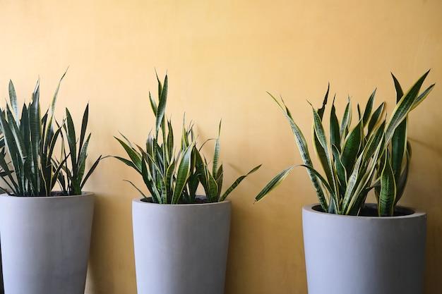 스네이크 플랜트, 현대 시멘트 회색 화분에 있는 산세베리아, 건물 내부에 장식된 노란색 벽, 화분에 화초. 가정을 위한 녹색 자연 장식, 공기 개념을 정화하는 공기 정화 식물