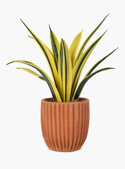 Snake plant in a terracotta pot home decor