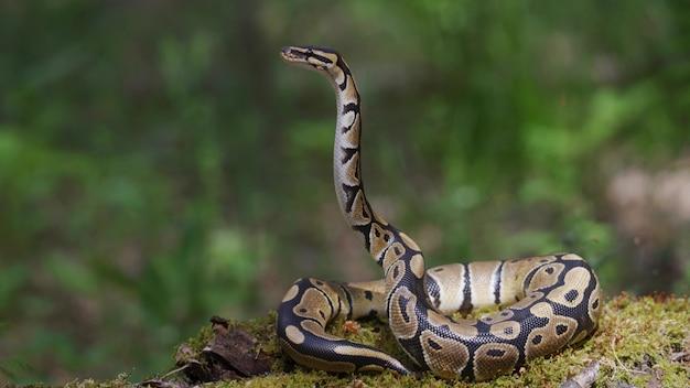 뱀은 땅에서 머리를 잘 들어 올립니다.