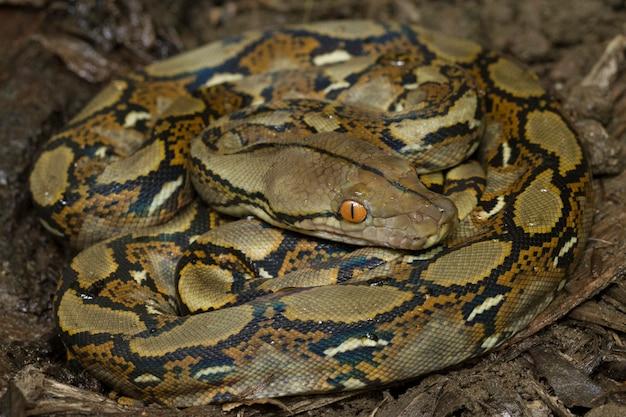 ヘビ網状パイソン(python reticulatus)