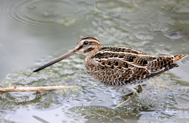 Snipe looking for food in shallow water