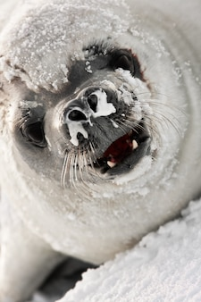 Snot nosed seal