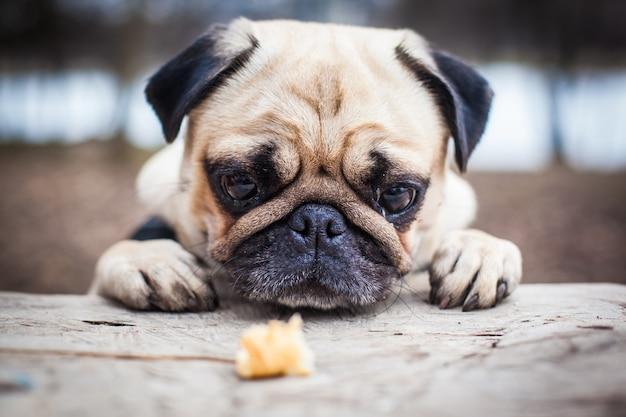 鼻パグ犬。床で休む。クローズアップソフトフォーカス