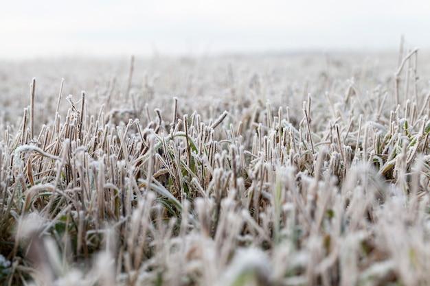 冬の雪と氷に覆われた草