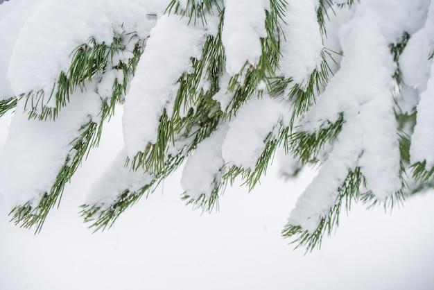 눈 겨울 숲에서 눈에 전나무 크리스마스 트리의 분기 합니다. 크리스마스 컨셉