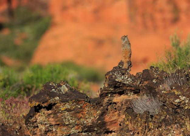 Белка на лавовых скалах в snow canyon state park юта