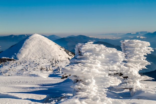 Snow covered bent little pine tree in winter mountains.