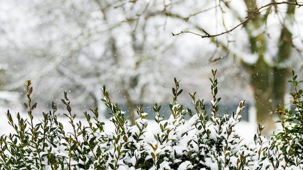 降雪時の木々を背景に雪に覆われたツゲの木の枝