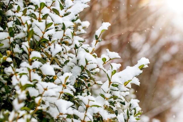 晴天、冬の背景に雪に覆われたツゲの木の茂み