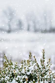 降雪時に焦点がぼけた木の背景に雪に覆われたツゲの木の茂み