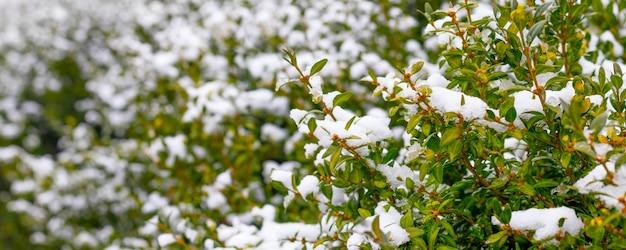 緑の葉と雪に覆われたツゲの木の茂み、冬のツゲの木