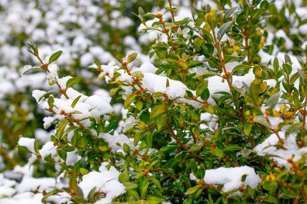 녹색 잎이 있는 눈 덮인 회양목 덤불, 겨울에는 회양목