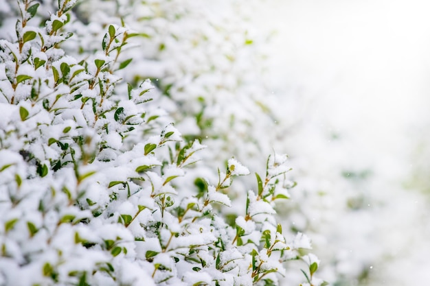 明るい背景に緑の葉と雪に覆われたツゲの木の茂み