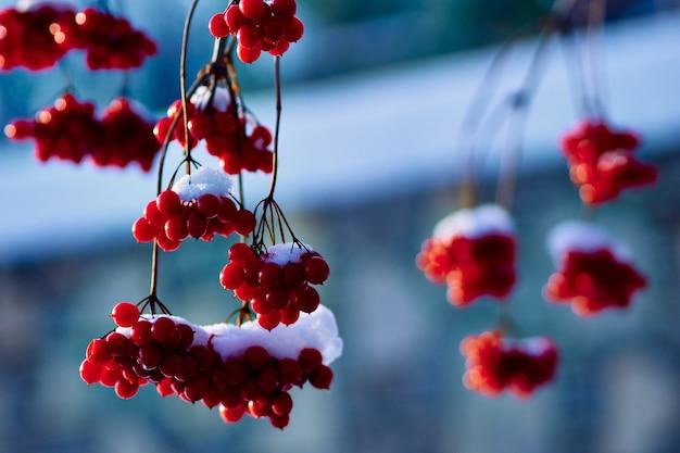 Заснеженная ветка с ягодами рябины