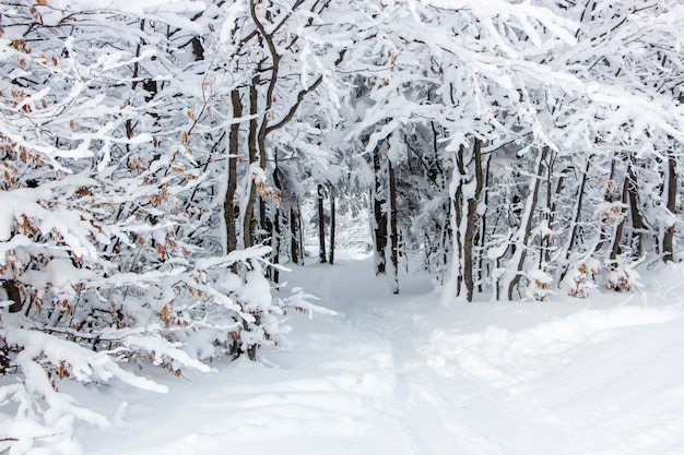 雪に覆われた枝と木々の下の小道。森の中の美しい真っ白な冬。