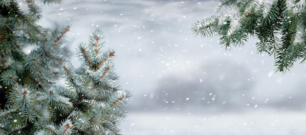 Snow-covered branches of fir trees during a snowfall