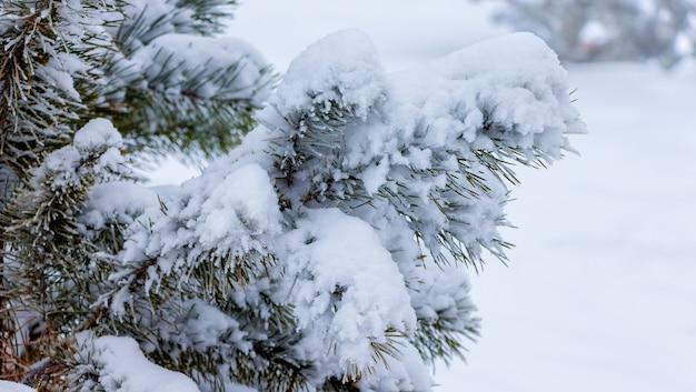 明るい背景に雪に覆われたトウヒの枝。雪の降る冬_