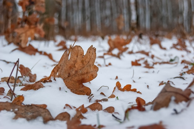 Snow-covered brown dry oak leaves against the background of trees in the forest, winter