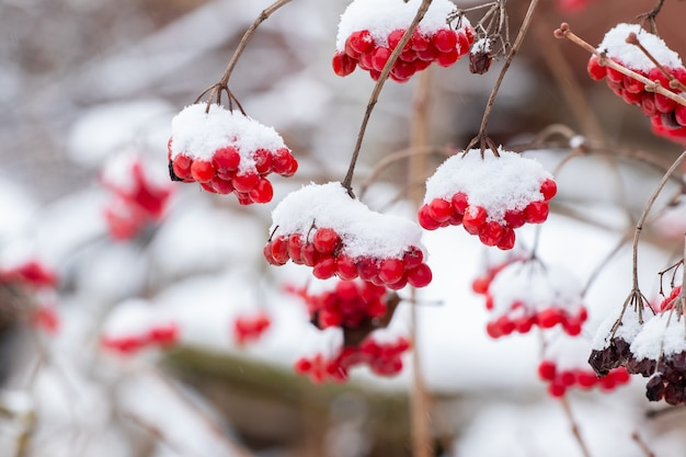 雪に覆われたガマズミ属の木と赤いベリー。冬のガマズミ属の木の赤い果実