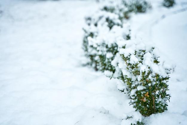 Заснеженный куст в зимнем городском парке. красота зимнего сезона.