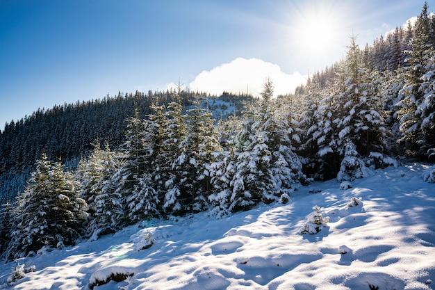 눈 덮인 카르파티아 산맥과 언덕, 눈 덮인 하얀 눈과 상록수 크리스마스 트리가 눈부신 찬 태양에 의해 조명을 받고 있습니다.