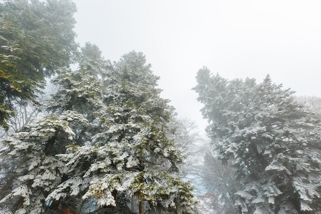 Snow-covered coniferous forest in dense fog, soft contrast