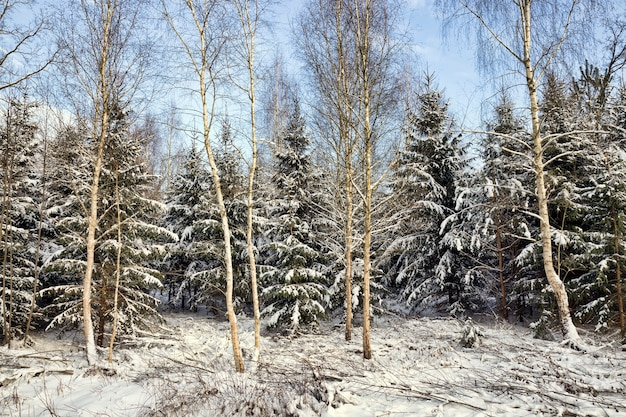 Snow covered coniferous trees, spruce in winter, white snow is everywhere, blue sky and sunny weather, the branches of the tree and the ground