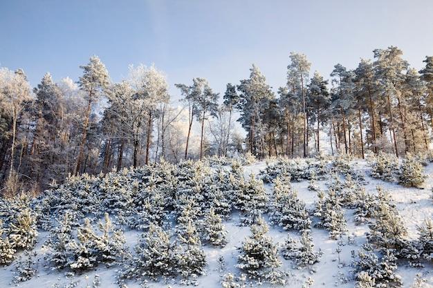 雪に覆われた針葉樹