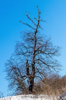 青空を背景に雪に覆われた暗い広がりの木