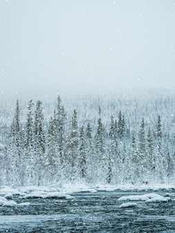 Заснеженный густой еловый лес. нетронутая чистая природа.