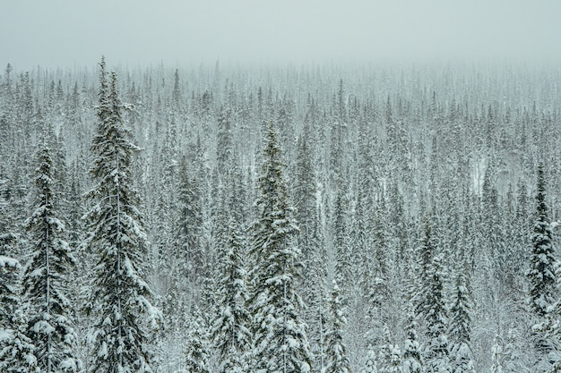 雪に覆われた密なトウヒの森。