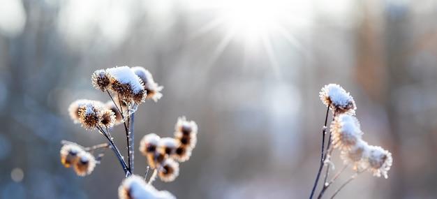 화창한 날씨에 초원에 눈 덮인 마른 우유 엉겅퀴