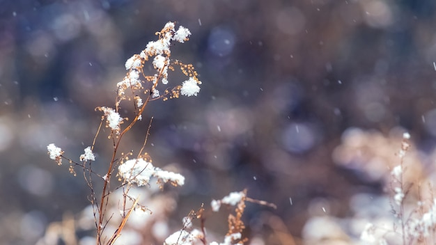 Snow-covered dry stalks of grass during a snowfall