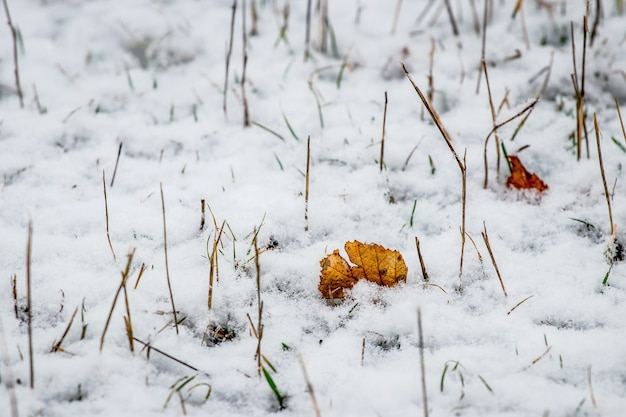 Snow-covered fallen dry leaves among the withered grass