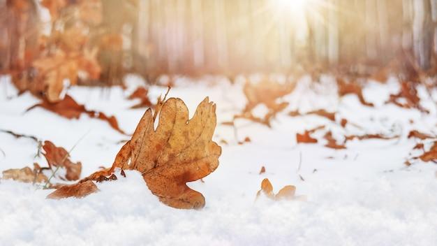 日没時に森の中で雪に覆われた落ちたオークの葉