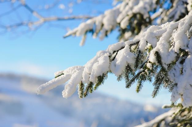 Snow covered fir branch
