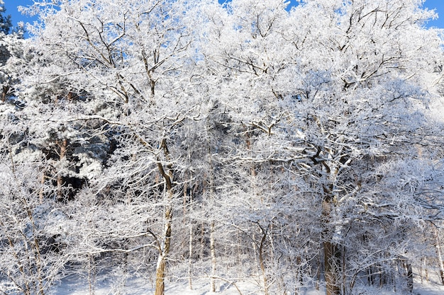 Snow-covered frosty branches of deciduous trees in the winter season