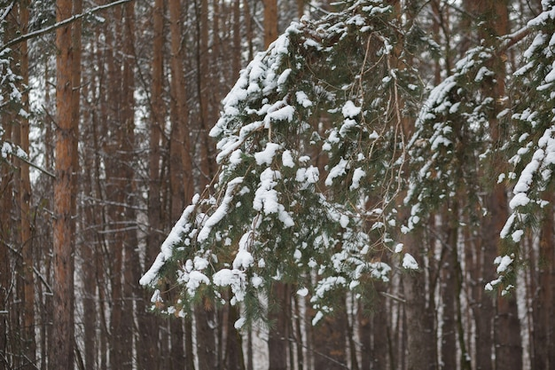 Заснеженное зеленое дерево. зимний мягкий фон с елью
