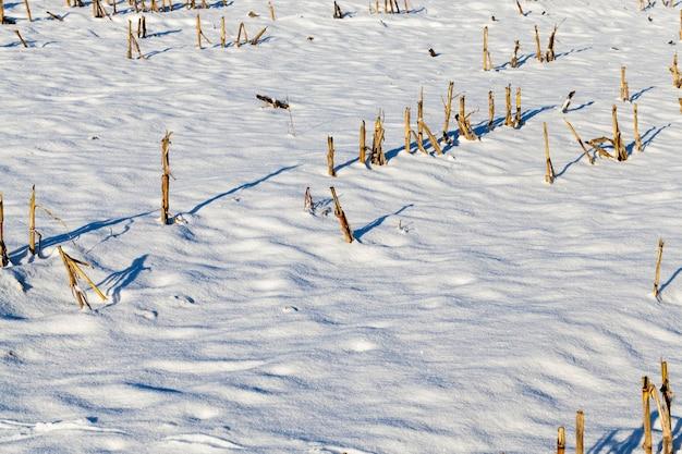 들판의 눈 덮인 땅, 눈과 겨울의 서리, 수확 된 옥수수의 그루터기가 눈을 통해 튀어 나옴